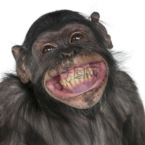 黑猩猩和倭黑猩猩之间的混合养殖猴子