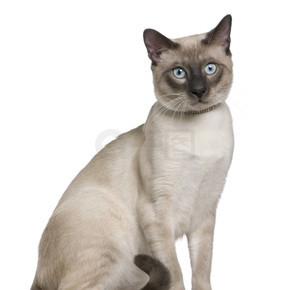 暹罗猫,8 个月大,坐在白色背景前