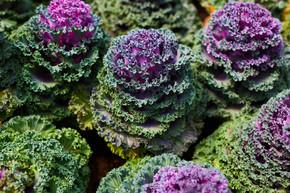 紫色和绿色卷心菜装饰花 (甘蓝) 在模糊的背景。植物园的观赏植物。花园装饰用的卷心菜花。景观设计.