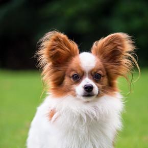 巴比龙纯种狗的肖像