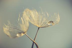 抽象的蒲公英花背景下,极端的特写镜头。在自然背景下的大蒲公英