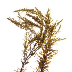 日本 wireweed