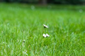 在绿草背景上的洋甘菊白色小野花.