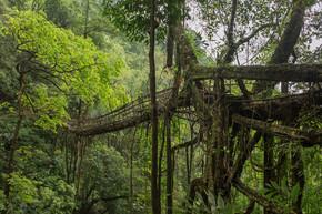活根桥靠近 Nongriat 村, Cherrapunjee, 梅加拉亚邦, 印度。这座桥是经过多年的训练树根形成的.
