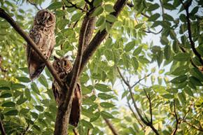 两个长耳猫头鹰