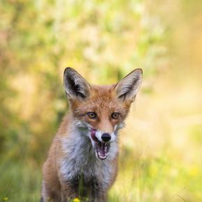 成年红狐狸站在阴影中,用白牙舔着张嘴