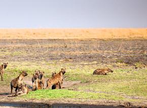 在坦桑尼亚国家公园的鬣狗