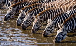 斑马群喝水
