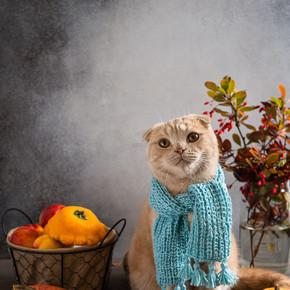 猫与针织围巾在南瓜和秋天的叶子之间. 复制空间。 宠物店猫的咖啡店概念
