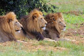 野生非洲狮