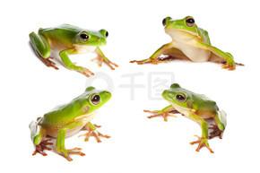 在白色的四个青蛙