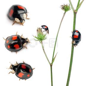 亚洲瓢虫,或日本瓢虫或小丑瓢虫、 异色,在白色背景前的植物组成