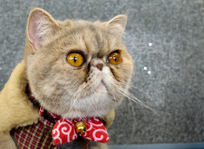 Exotic Short hair Cat with wide eyes sitting on a wooden table looking into camera giving funny expr